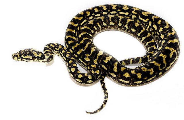 Jungle Carpet Python  Snakes!  Pinterest
