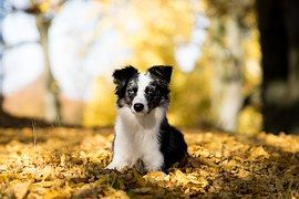 Pastor Australiano Mini, Perro, Árboles