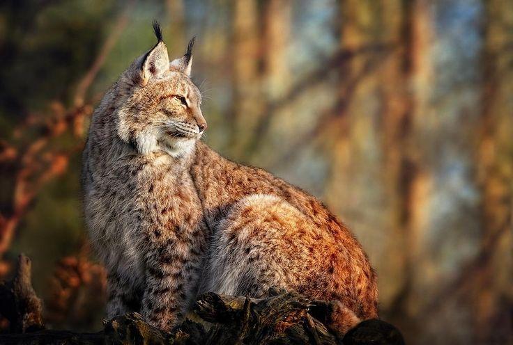 Wait & see ... - Lynx boréal