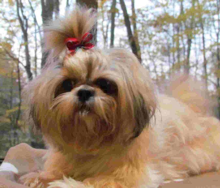 Chinese Imperial Dog vs. Shih Tzu Dog