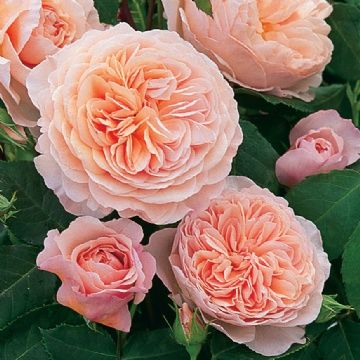 David Austin - William Morris {Auswill}  Climbing Rose, Apricot Pink, 5 x 4ft, Extremelly Hardy, Great for Futher Back in the Garden!