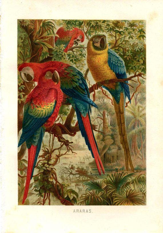 Macaws Antique Print New World Parrots Color by ...