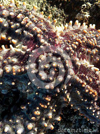 A close-up view of a Marthasterias glacialis, spiny starfish.