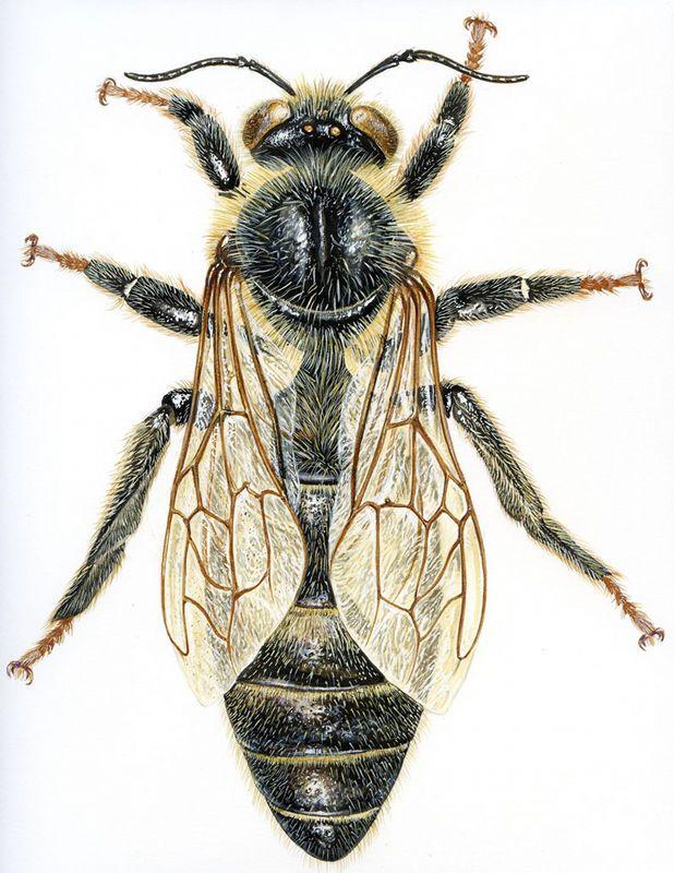 reine abeille, par Jean Louis VERDIER