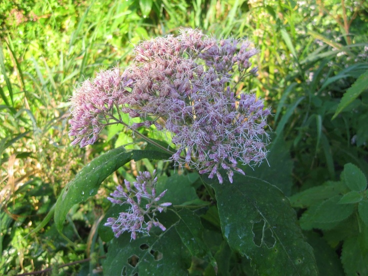"""EUPATORIUM PURPUREUM 