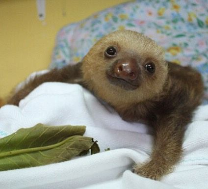 Best Sloth Images On Pinterest Sloths Wild Animals And - 5 month old baby and sloth are the most unlikely of best friends