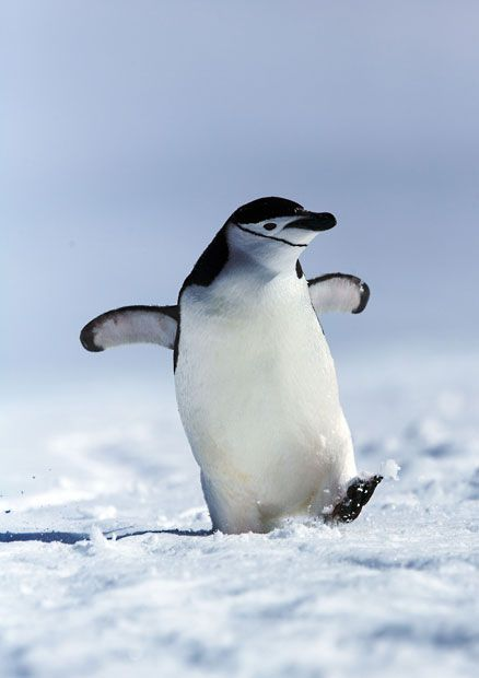 A penguin gives a cheeky grin as he strides through the snow with a spring in his step. The chinstrap penguin was snapped by German photographer Andreas Kutsch at Spigot Point, Antarctica.