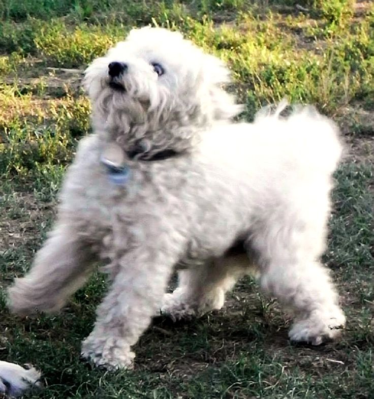 Malteser Mix Graf Bobby Aaaachtung! Bremsen!!! #Hund: Graf Bobby / #Rasse: Malteser Mix      Mehr Fotos: https://magazin.dogs-2-love.com/foto/malteser-mix-graf-bobby/ Foto, Hund, Natur