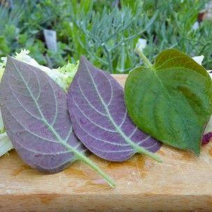 La Plante Fromage (Plante comestible rare) Plant