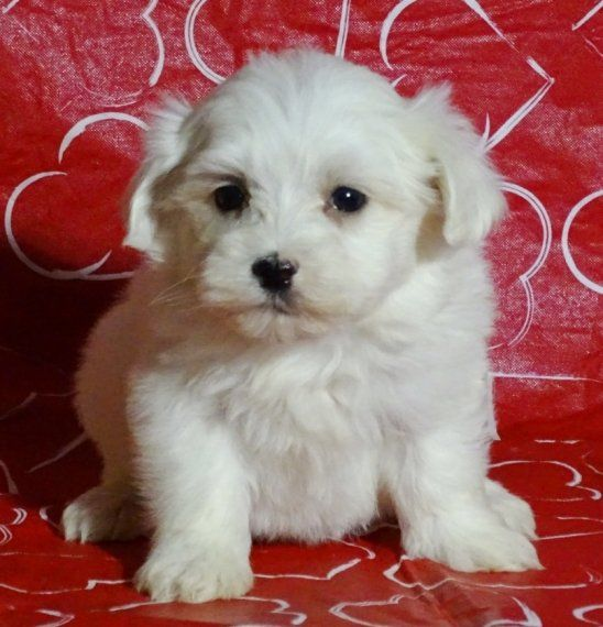 Brandon Is A Male Maltese Puppy For Sale At Puppyspot Call Us