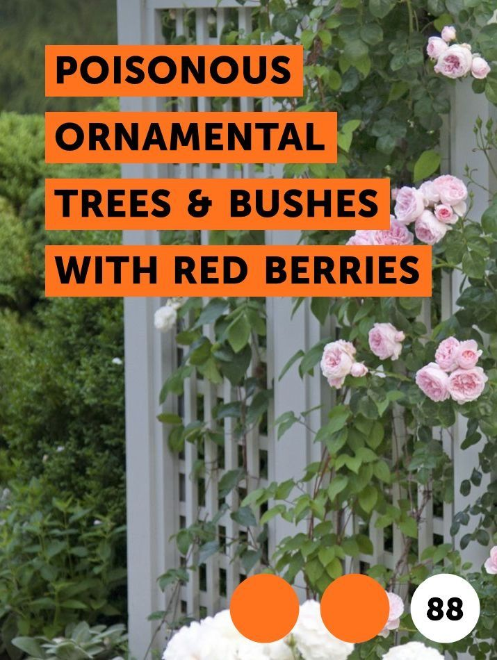 Learn Poisonous Ornamental Trees Bushes With Red Berries How To Guides Tips And Tricks Creeping Jenny Sundew Plant Plants