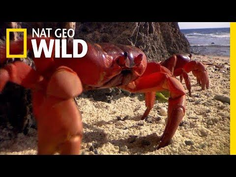 Millions of Red Crabs Swarm Christmas Island Every Year | Nat Geo Wild - YouTube