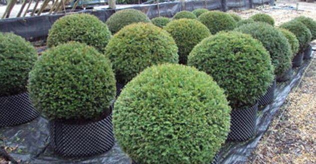 Taxus baccata balls