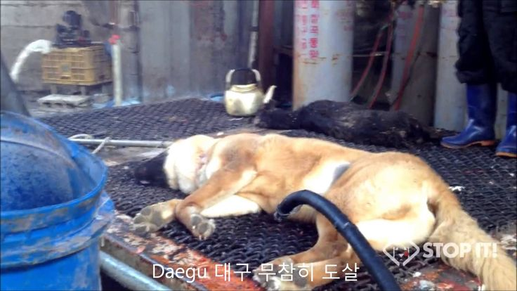 What Breed Of Dog Do Koreans Eat