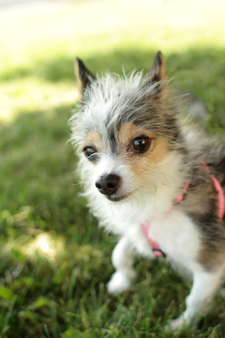 Mini - Jack Russell Chihuahua mix- lol love the fur!