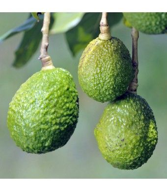 I want one of these!  Hass Avocado Tree - www.lemoncitrustree.com