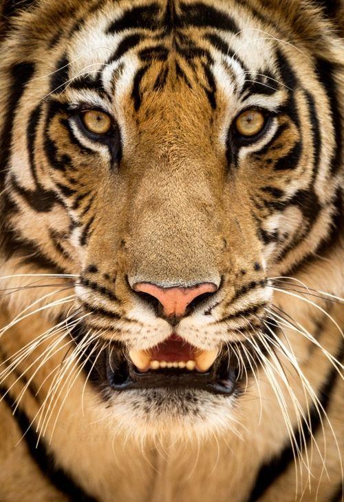 Tiger PortraitbyKyriakos Kaziras