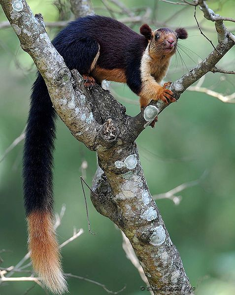 The Indian giant squirrel, or Malabar giant squirrel, (Ratufa indica) is a large tree squirrel species genus Ratufa native to India. It is a large-bodied diurnal, arboreal, and herbivorous squirrel found in South Asia.