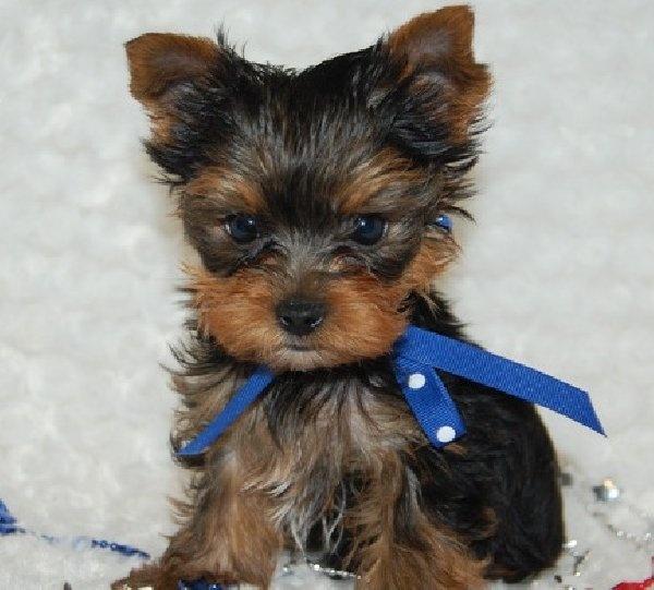Teddy Bear Yorkie Haircut Teacup Yorkie Puppies Available For Sale