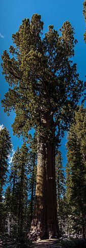 General Sherman Tree – Wikipedia