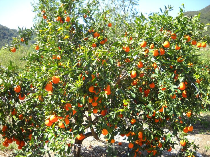 tangelo tree minneola tangelo tree