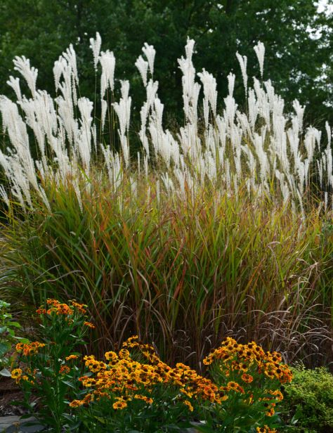1000 images about seasonality on pinterest pampas grass for Coloured ornamental grasses
