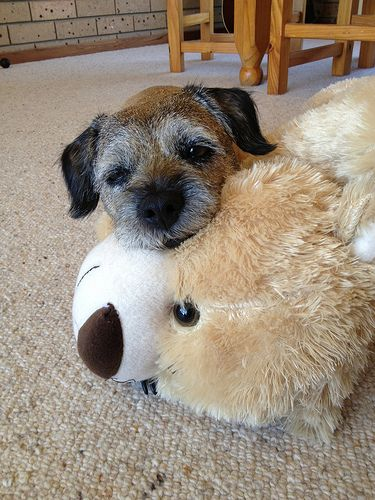 Buzz, Border Terrier