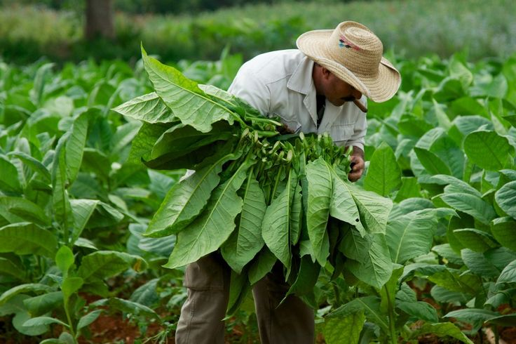 Visit tobacco farms and get to know the people who work them on Cuba People-to-People Exchange Program cultural photography tours from PhotoEnrichment Adventures. Find out more at http://photoenrichment.com/tours/cuba-people-to-people-exchange-program/