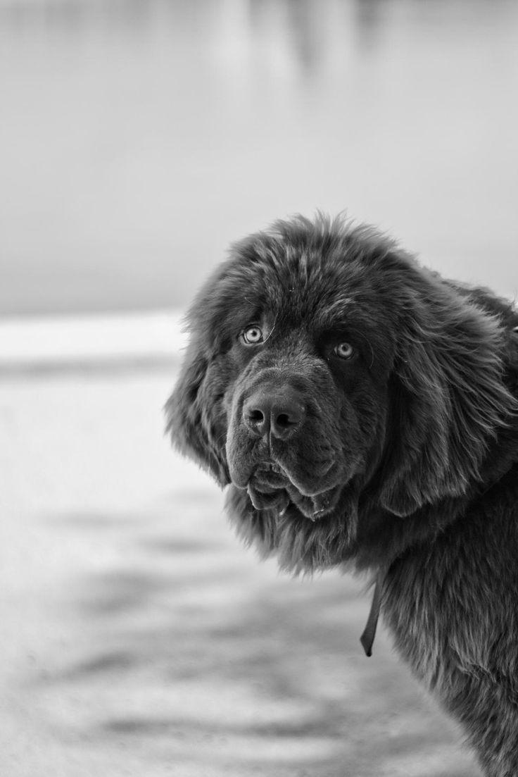 35 very beautiful newfoundland dog pictures - Newfoundland Null