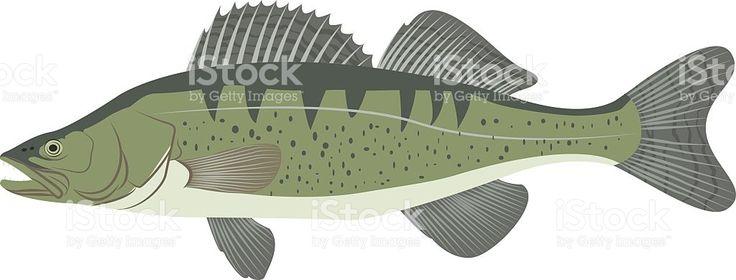 Зандер располагается (Сандер судака) Пресноводная рыба Сток Вектор Стоковая фотография