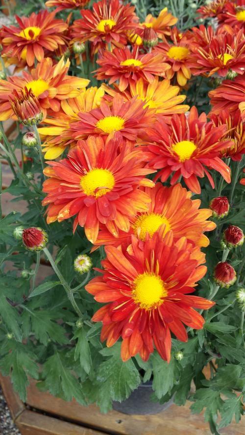 Chrysanthemum (Hardy Mum)