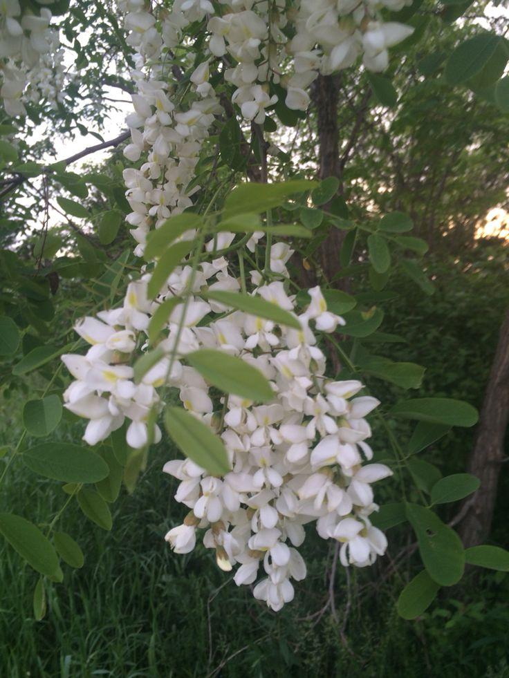 Locust blossom