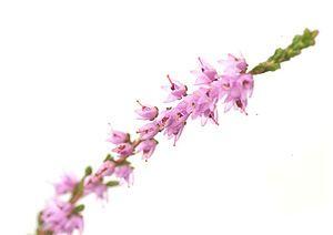 heather-fiori-di-bach