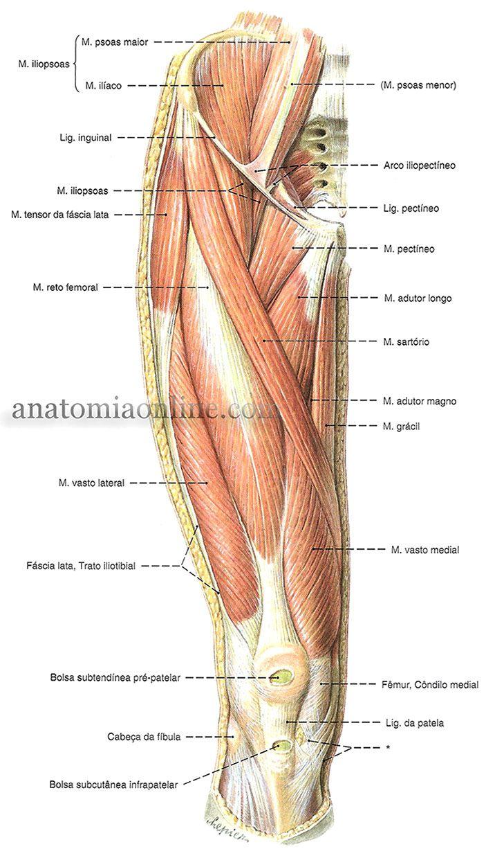 Musculos Do Membro Inferior Anatomia Do Corpo Humano Anatomia