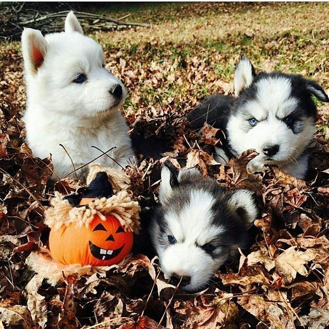Happy Halloween Photo by: @huskyranch Like & Follow #cuteanimalplus