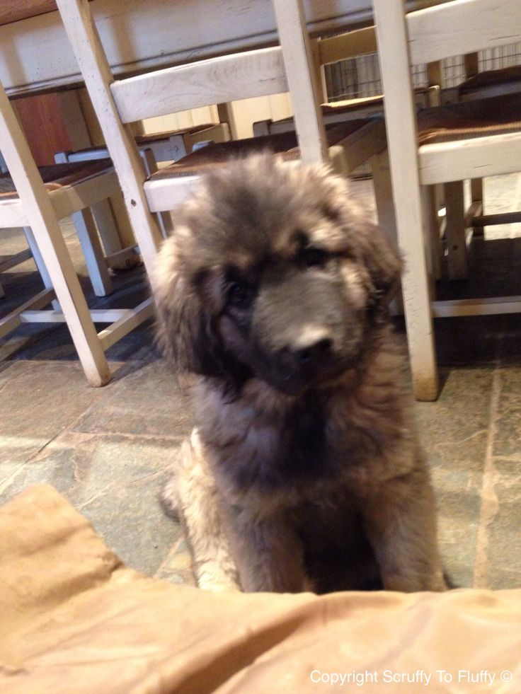 This is Grizzly he's a Caucasian Sheppard a new family member at scruffy to fluffy dog groomers