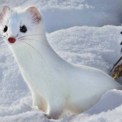 Baby short tailed weasel - photo#22