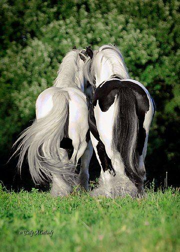 The Gypsy horses that pulled Queen of the Gypsies Bethia's wagon.  www.denicegarrou-dragonhorse.com