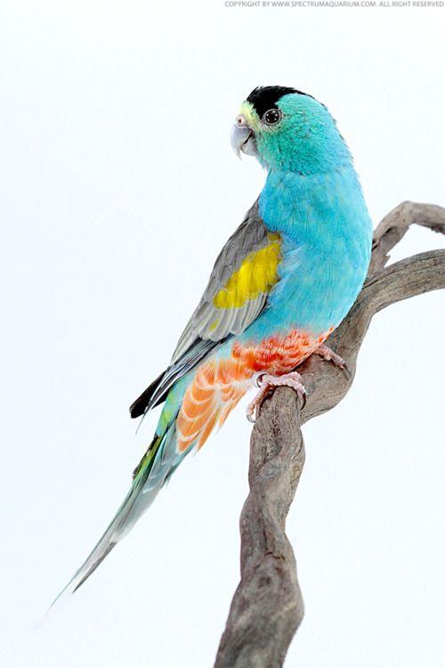 Australian Grass Parakeet
