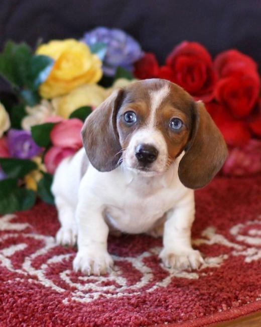 Lab Weiner Dog Mix For Sale