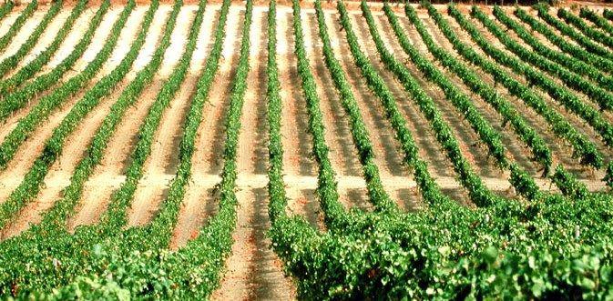 Scorci di un #vigneto.  Glimpses of a #vineyard