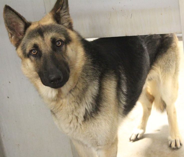 ADOPTED>NAME: Gandolph ANIMAL ID: 35705067 BREED: Shepherd SEX: male EST. AGE: 2 yr Est Weight: 86 lbs Health: Heartworm neg Temperament: dog friendly, Shy- really needs to get to know you before getting him out. Doesn't act aggressively just hides. ADDITIONAL INFO:RESCUE PULL FEE: No fee Intake date: 6/20 Available: Now