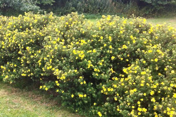 Heesterganzerik 'Goldfinger'    De Potentilla fruticosa 'Goldfinger' (Heesterganzerik 'Goldfinger') is een vrij hoge potentila (tot 110 cm. hoog). De Heesterganzerik 'Goldfinger' bloeit in de zomermaanden van juni tot en met oktober uitbundig met gele bloemen, en trekt veel vlinders aan. De Heesterganzerik 'Goldfinger' heeft mooi, frisgroen blad.