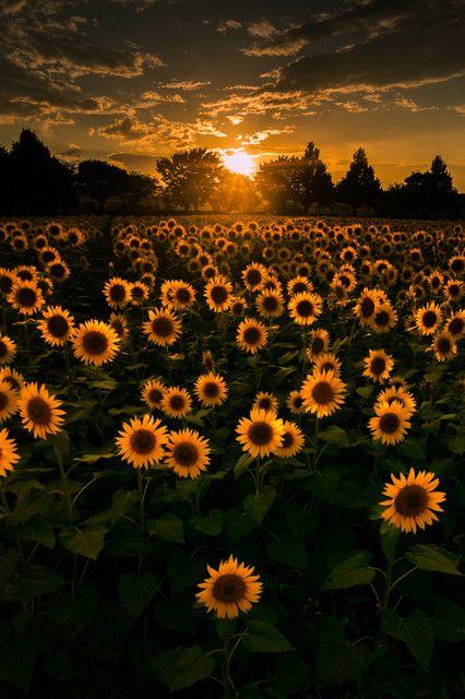 座間のひまわり畑です。 雨上がりに夕日が映えていました。