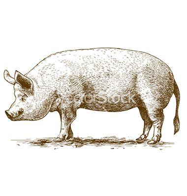 vintage pig drawings - Google Search