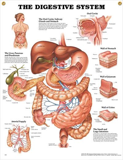 The Digestive System anatomy poster depicts the oral cavity, glands, stomach, liver, pancreas, duodenum and colon.