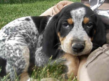 bluetick coonhound puppies...I need to cuddle with him!