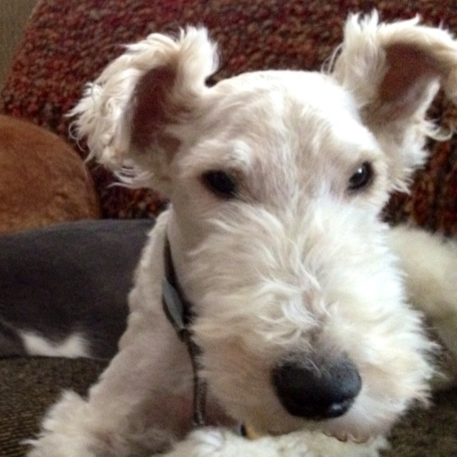 Wire Hair Fox Terrier My Life Pinterest Cleanses