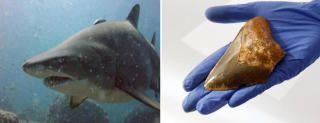 Los mayores tiburones de la Tierra dominaron Canarias hace 5 millones de años.