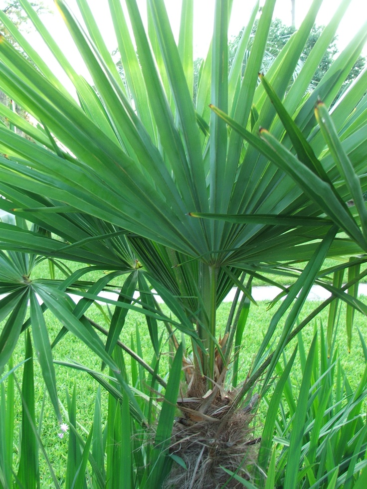 Very Healthy And Vibrant Windmill Palm Hardy For Cold